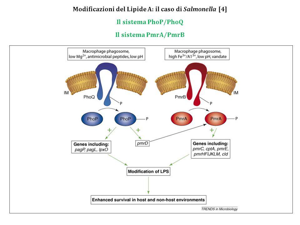 Modificazioni del Lipide A: il caso di Salmonella [4]